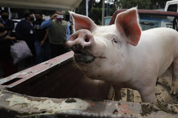 Transplants from pigs have long been explored as a solution to the global shortage of human organs for patients with organ failure. AP