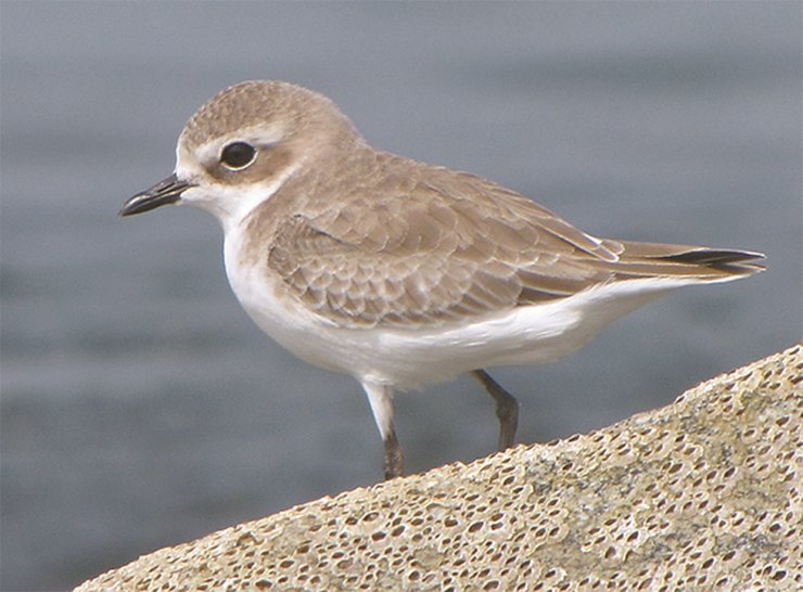 North Korea serves as an important stopover for the long-distance migratory flyer lesser sand plover, which migrates each spring and autumn between Australasia and North America. /Courtesy of Wikimedia Commons