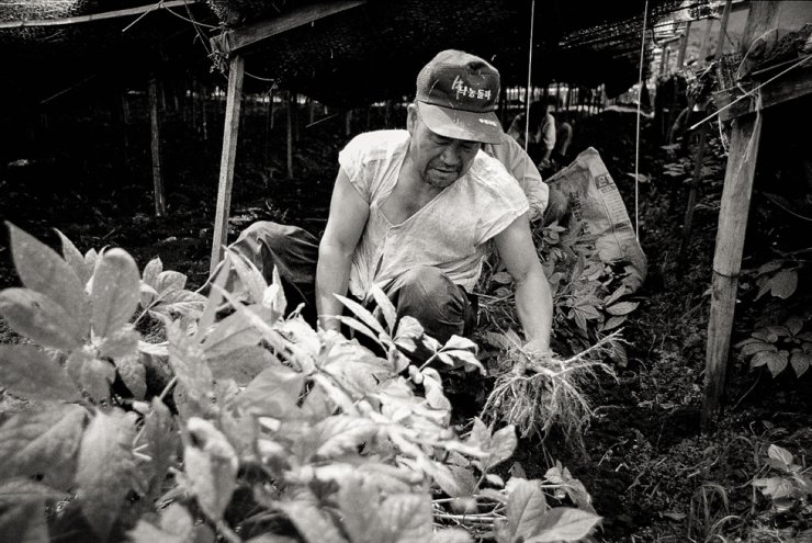 'Father, the Breadwinner': A farmer harvests commercial ginseng on his farm in Geumsan, South Chungcheong Province in this 1992 photo. He ensured his children were fed and educated with the income he earned from selling ginseng. / Courtesy of Yang Hae-nam