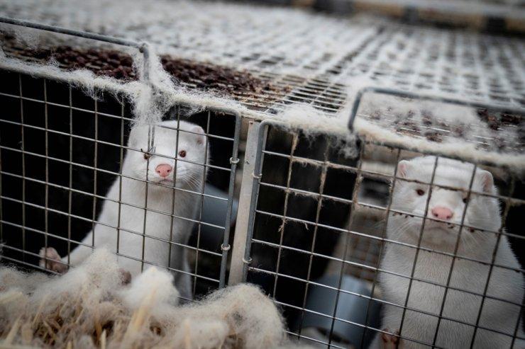 Mink are seen at the farm of Henrik Nordgaard Hansen and Ann-Mona Kulsoe Larsen near Naestved, Denmark, Nov. 6, 2020. Reuters