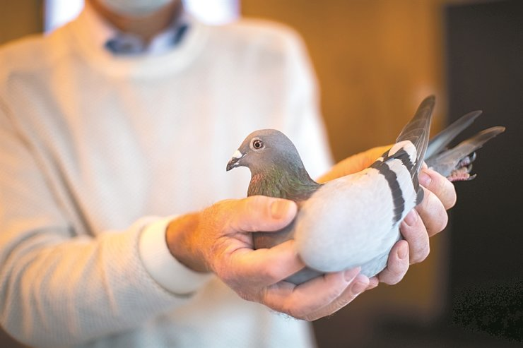 Carlo Gyselbrecht, co-owner of Pipa, a Belgian auction house for racing pigeons, shows a two-year old female pigeon named New Kim after an auction in Knesselare, Belgium, Sunday. / AP