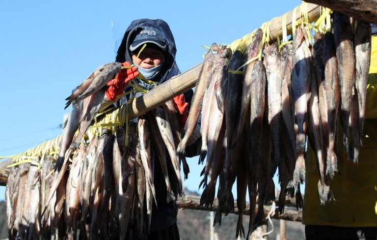 A worker hangs pollack over a wooden frame in Inje, Gangwon Province, Tuesday. During the winter the fish repeatedly freeze and thaw in the cold weather before going to market. Called 'hwangtae,' in Korean, it has been one of the favorite foods of Koreans for centuries. / Yonhap