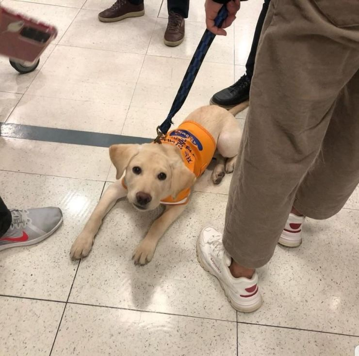 A guide dog in training, learning to assist people with visual disabilities, rests on the floor at Lotte Mart's Jamsil outlet, Sunday, in this photo captured from social media. Yonhap