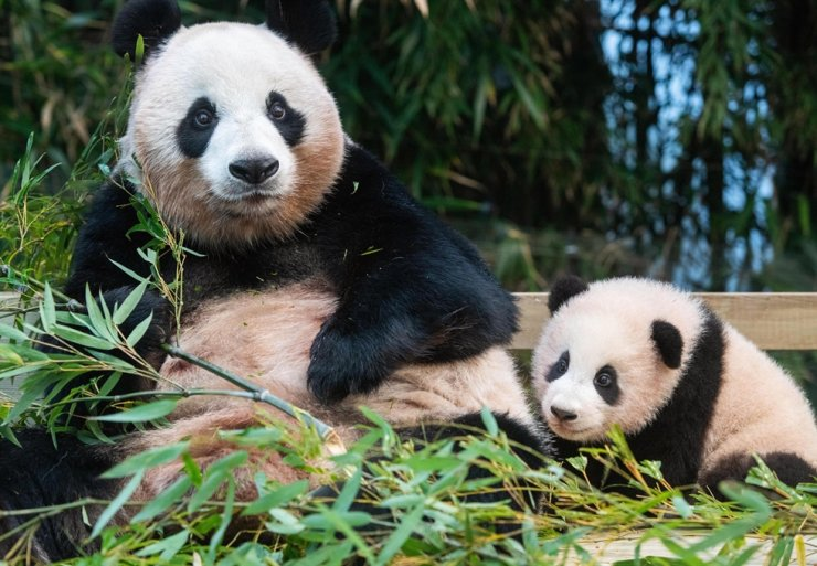 Baby panda Fu Bao, right, sits next to her mother Ai Bao in this undated photo. Courtesy of Samsung Everland