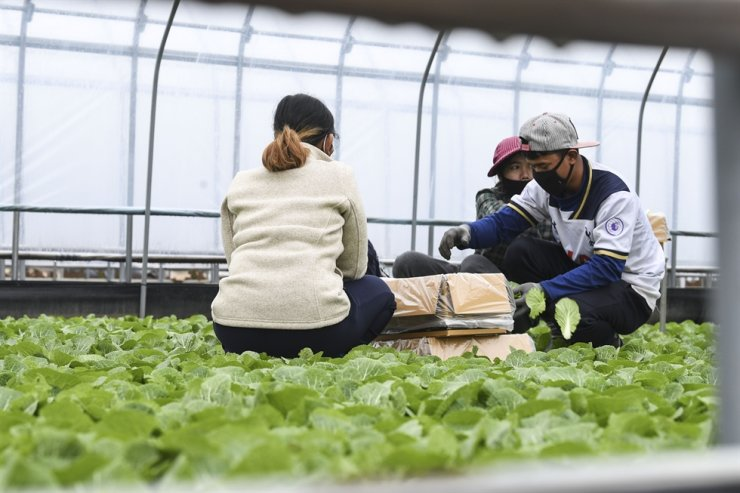 Migrant workers on a farm in Chungju, North Chungcheong Province, Jan. 22. Korea Times photo by Lee Han-ho