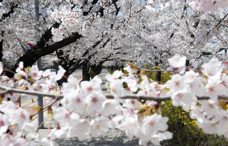 Cherry blossoms in full bloom on Yeouido's Yunjungno in southern Seoul, in this photo taken on April 5, 2020 / Korea Times file