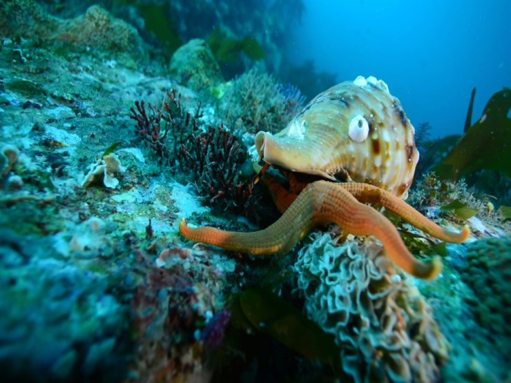 A conch attacks a starfish in waters of Hallyeo Marine National Park across Korea's southern waters. Courtesy of Korea National Park Service