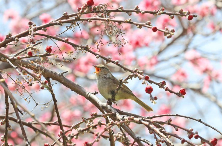 A bush warbler is seen among branches of budding cherry blossoms in front of Lee Jung Seop Gallery in Seogwipo area in Jeju Island's Seogwipo District on March 17. Yonhap