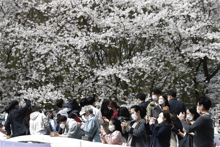People wearing face masks to protect against the spread of the coronavirus take pictures of cherry blossoms in full bloom at a park in Seoul, April 1. AP
