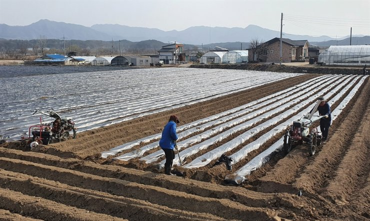 Farmers plant seed potatoes in a field in Chuncheon, Gangwon Province, in this March 19 photo. The harvest is expected around June. Yonhap