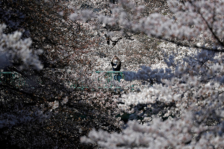 Cherry Blossom trees bloom along the National Mall following a rain shower March 28, in Washington, D.C. The Japanese cherry trees were gifted to Washington, D.C. by Tokyo Mayor Yukio Ozaki in 1912 and draw tens of thousands of daily visitors around peak bloom every year. AFP-Yonhap