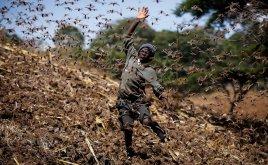 Locust outbreak