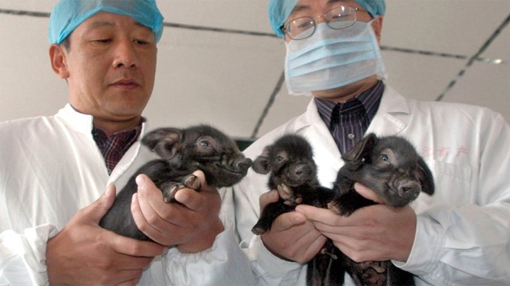 Scientists hold China's first successfully cloned pigs, born in 2006 in Harbin, Heilongjiang province.