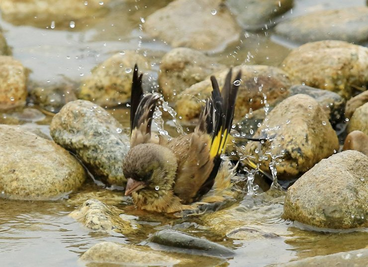 An Oriental greenfinch gets some water relief at Namdaecheon Stream in Gangneung, Gangwon Province, on June 24 as extreme heat continues. / Yonhap