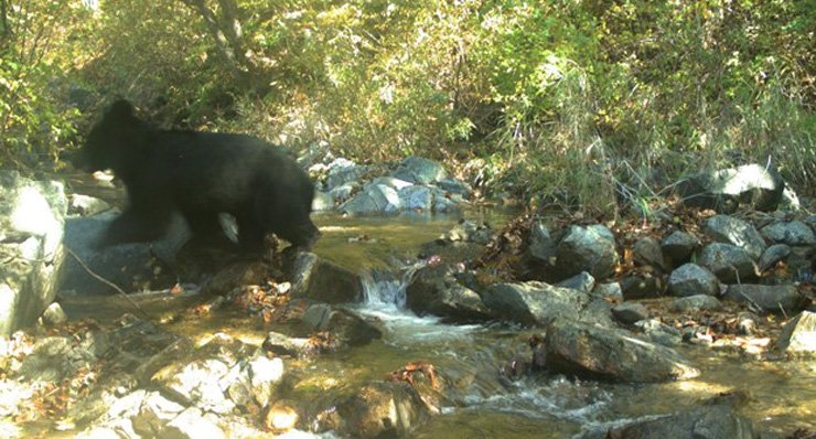 Asiatic black bear has been found living in the demilitarized zone (DMZ) between the two Koreas, the government confirmed Wednesday. / Courtesy of Ministry of Environment