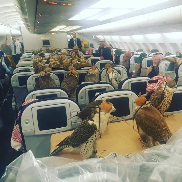Saudi prince bought economy class airline seats for his 80 hawks. / Courtesy of Reddit