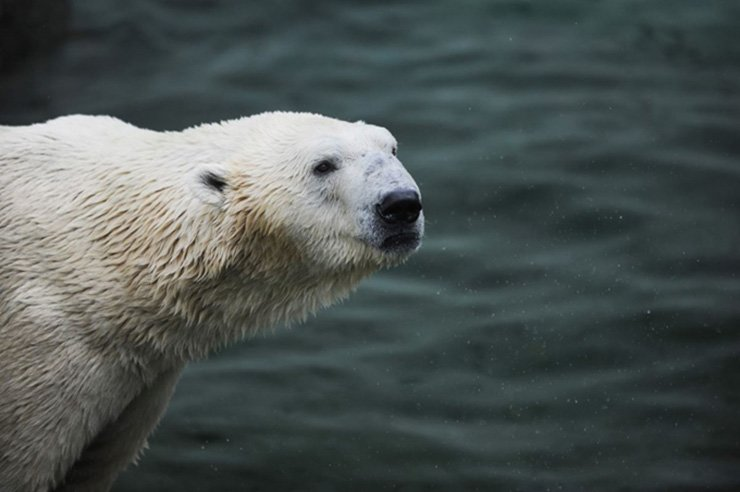 Polar bear Tongki / Courtesy of Everland