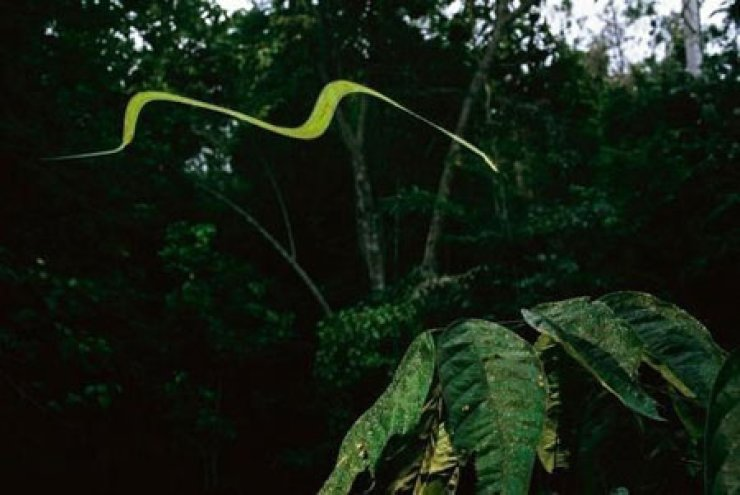 The mystery of how paradise tree snakes fly has been recently solved