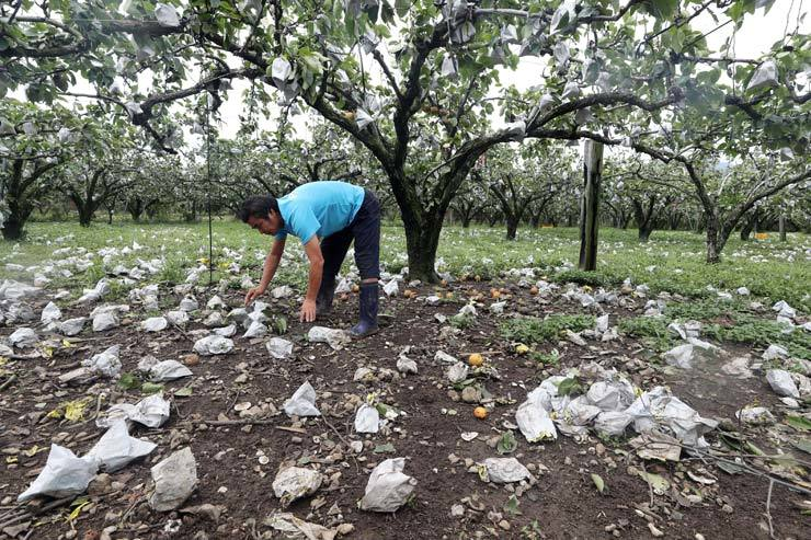 A farmer picks up pears blown from his trees at a farm in Suncheon, South Jeolla Province, Sunday, after Typhoon Lingling struck Korea the previous day. Lingling, the fifth strongest typhoon to hit Korea since 1959, left three people dead and scores injured nationwide. / Yonhap