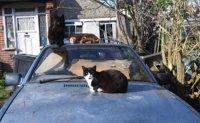 Cat found infected with coronavirus in Belgium