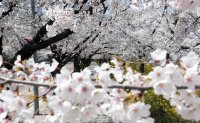 Tickled pink: destinations in Asia to enjoy cherry blossoms