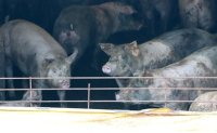 Another suspected African swine fever case reported