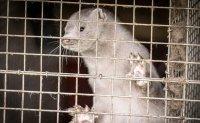 Denmark plans to cull as many as 17 million minks over virus fears