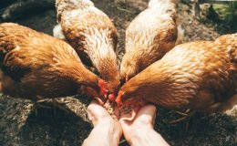 Korea confirms 2nd highly pathogenic bird flu case