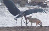 황새를 사냥하는 자칼