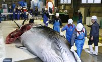Japanese whalers bring home first commercial catch in 31 years