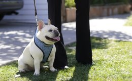 Lady Gaga's dog walker shot; the star offers $500,000 reward to find her stolen French bulldogs