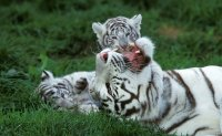 2 white tiger cubs in Pakistan likely died of COVID-19: zoo officials