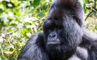 Four rare mountain gorillas 'killed by lightning' in Uganda