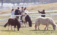 Riding Jeju horses