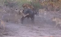 사자들과 버팔로… 20대 1의 싸움