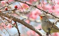 Cherry blossom season begins on Jeju Island, in southern region
