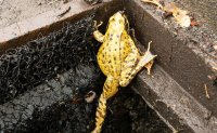 'Frog ladders' save creatures, focus on DMZ ecology