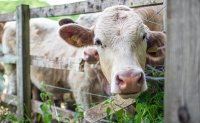 No. of beef cattle in Korea hits all-time high in Q3