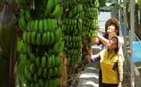 More 'Korean bananas' to be harvested this year amid climate change