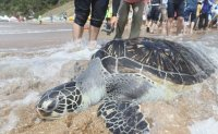 Thirteen endangered sea turtles return to the sea