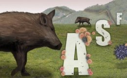 Swine fever-infected wild boars on steady rise in Korea