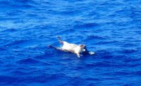 2nd crew member, dead cows found after ship sinks off Japan