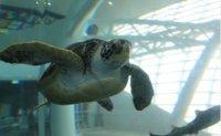 Ocean ministry to release 14 endangered sea turtles