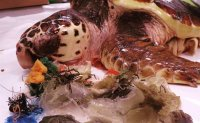 Marine debris found in 19 dead sea turtles