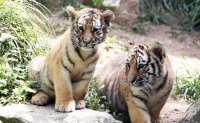 Tiger cubs make public debut at Everland [PHOTOS]