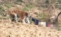 Chinese man killed by zoo tiger