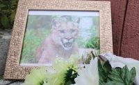 Dispute grows over killing of escaped puma