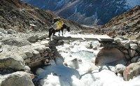 107 yaks plunge into frozen river, die
