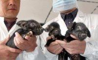 China close to transplanting pig organs into humans