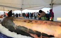 Autopsy on 12.6-meter whale conducted on Jeju Island